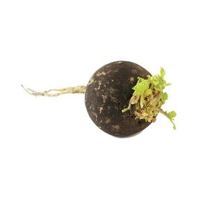 rábano negro